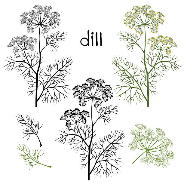 Set of dill  isolated on white background. Dill. Vector design, illustration.Hand drawn vector illustration, sketch. Elements for design. dill stock illustrations