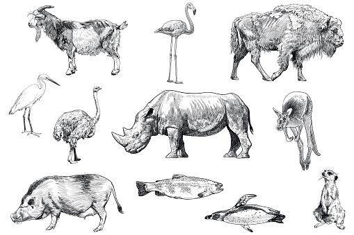 Set of drawings of animals: goat, flamingo, bison, egret, ostrich, rhinoceros, kangaroo, pig, trout, penguin, meerkat