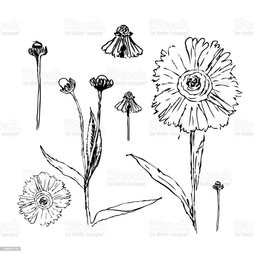 Set Mit Tinte Ganseblumchen Blumen Gezeichnet Vektorillustration