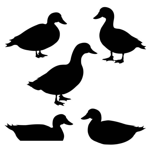 Set of ducks silhouettes Set of ducks silhouettes in different poses. Vector illustration isolated on white background drake male duck stock illustrations