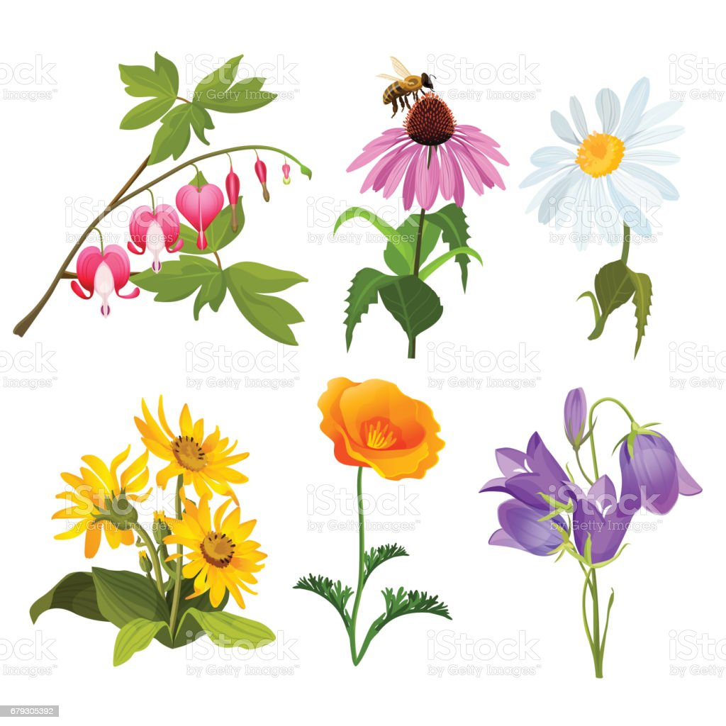 Set Of Echinacea Bleeding Heart Flowers Arnica Viola Chamomile Poppy ...