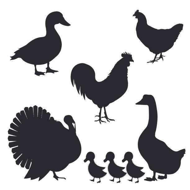 Set of farm birds silhouettes. Vector illustration Set of farm birds silhouettes. Vector illustration duck bird stock illustrations