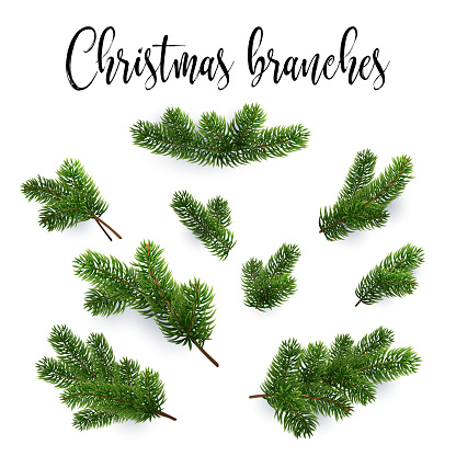 Set of fir branches. Christmas tree, pine, conifer