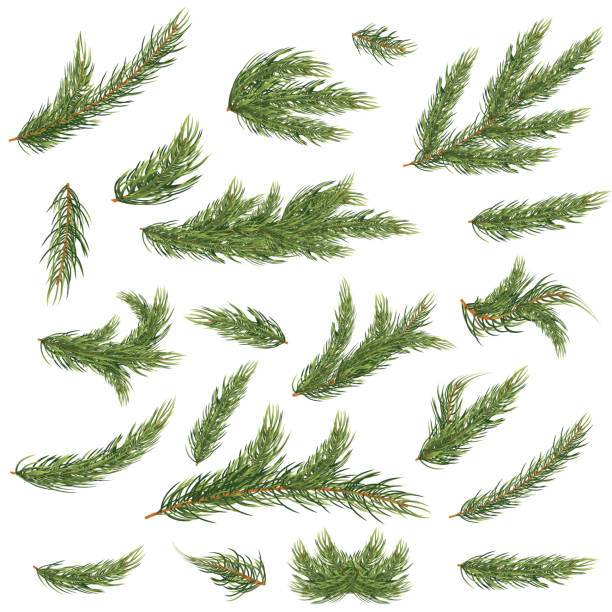 bildbanksillustrationer, clip art samt tecknat material och ikoner med uppsättning av fir grenar. julgran. - tallträd