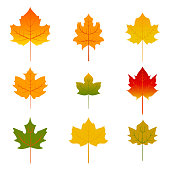 Set of five red and yellow maple leaves isolated on