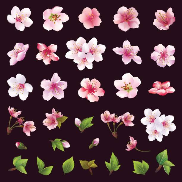 Set of flowers of cherry tree and leaves Big set of different beautiful cherry tree flowers and leaves isolated on black background. Collection of white, pink , purple sakura blossom - japanese cherry tree.  Elements of floral spring design. Vector illustration apple blossom stock illustrations