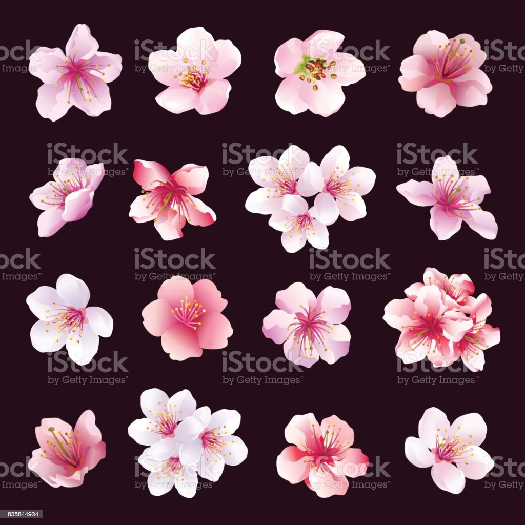 Set of different beautiful cherry tree flowers isolated on black...