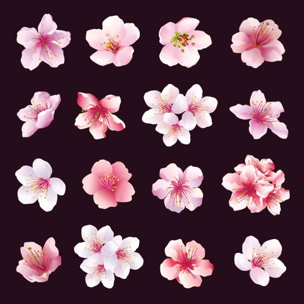 Set of flowers of cherry tree isolated Set of different beautiful cherry tree flowers isolated on black background. Big collection of pink, purple, white sakura blossom - japanese cherry tree.  Elements of floral spring design. Vector illustration apple blossom stock illustrations