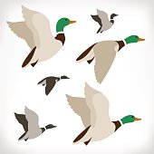 Set of flying wild ducks