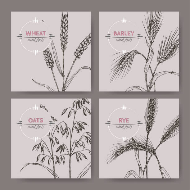 ilustrações de stock, clip art, desenhos animados e ícones de set of four banenrs with bread wheat, rye, barley and oats sketch. cereal plants collection. - ilustrações de oats