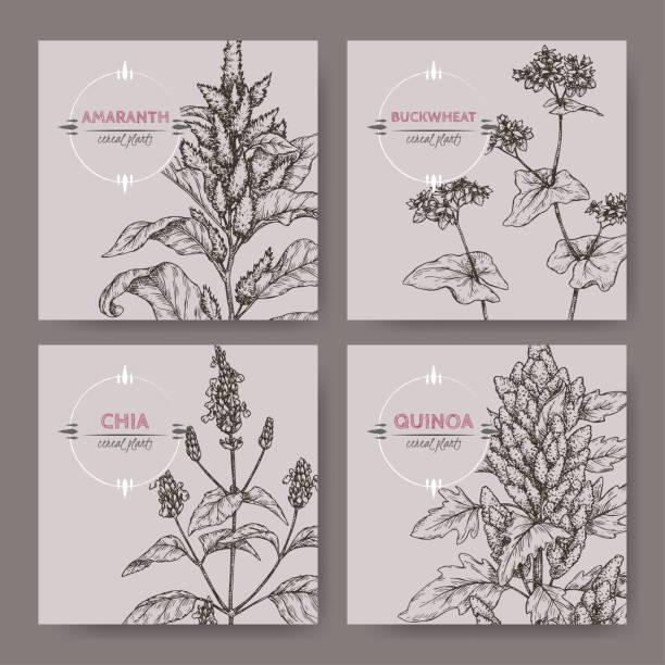 ilustrações de stock, clip art, desenhos animados e ícones de set of four banners with amaranth, quinoa, chia and buckwheat sketch. cereal plants collection. - quinoa