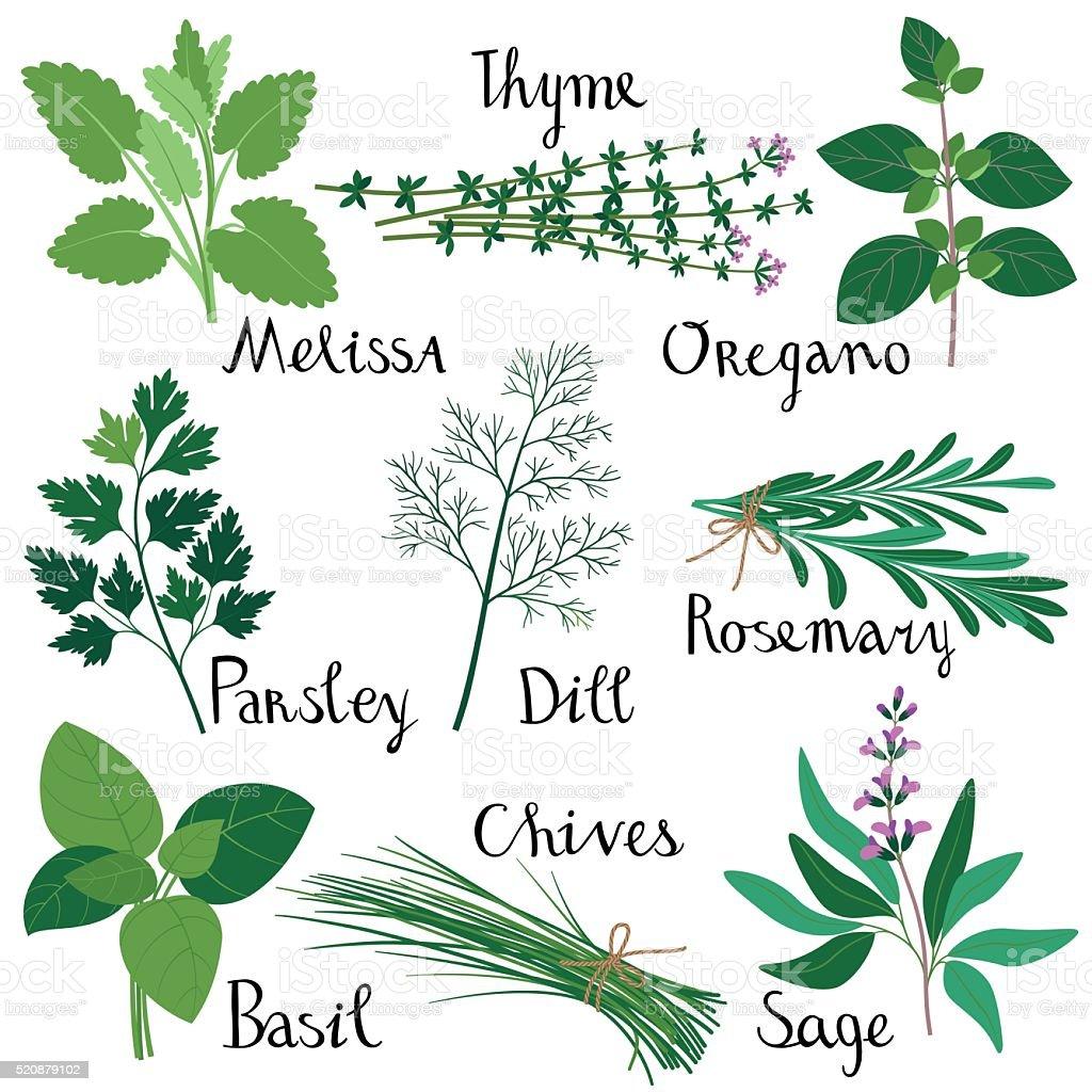 Conjunto de ervas frescas. - ilustração de arte em vetor