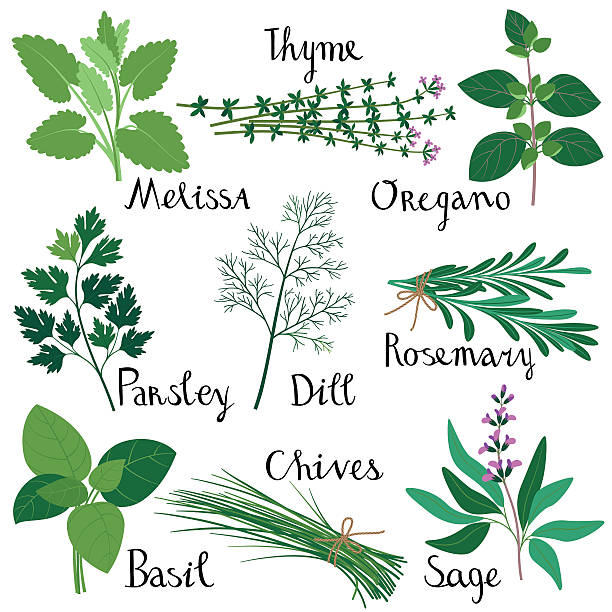 Set of fresh herbs. vector art illustration