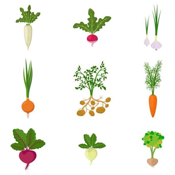 illustrazioni stock, clip art, cartoni animati e icone di tendenza di set of fresh organic vegetable garden isolated on white background. different kind root veggies: carrot, onion, potatoes, radish, daikon, beet, garlic, celery - aglio cipolla isolated