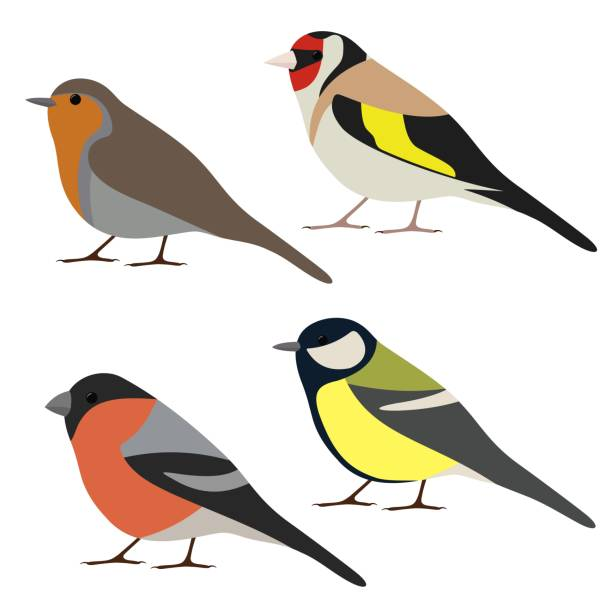 Set of garden bird. Robin, great tit, bullfinch, goldfinch isolated on white background. Colorful bird collection Vector illustration finch stock illustrations