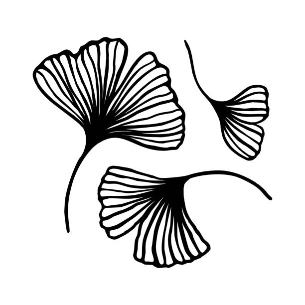 Set of Ginkgo biloba leaf hand drawn contour line. Vector Floral art in a Trendy Minimalist Style. Set of Ginkgo biloba leaf hand drawn contour line. Vector Floral art in a Trendy Minimalist Style. For the design of Logos, Invitations, posters, Postcards, prints on t-Shirts. ginkgo stock illustrations