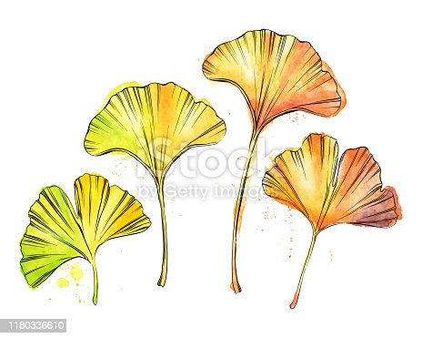Set of Ginkgo Leaves in Ink and Watercolor - Fully Editable Vector Illustration
