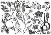 Set of graphic botanical illustration. Mango Fruit, Cacao and Berries strawberry, raspberry, apple, cherry isolated on white background
