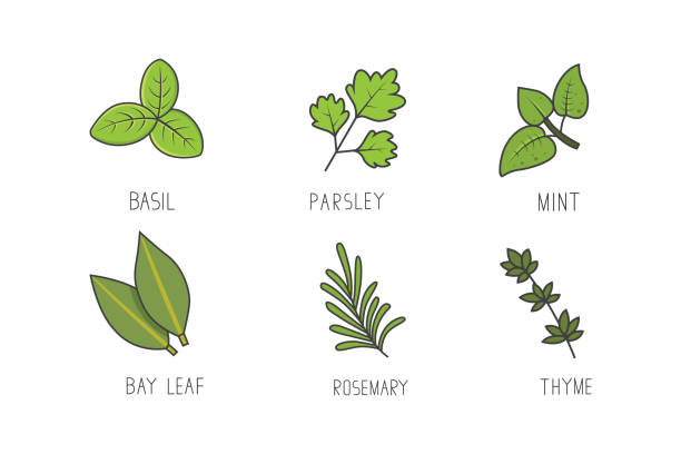 Set of green herbs and branches vector. Bay leaf, rosemary, mint aroma herbal line art icons. Set of green herbs and branches vector. Bay leaf, rosemary, mint aroma herbal line art icons thyme stock illustrations