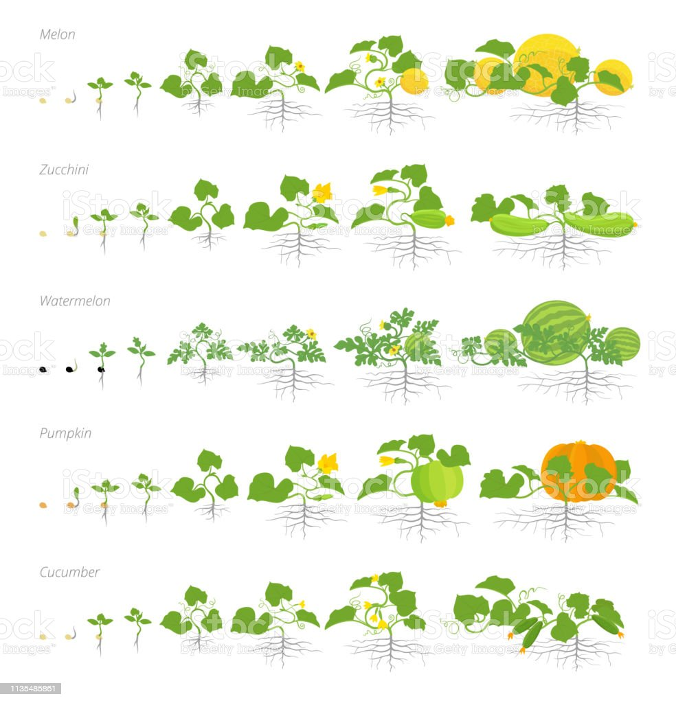 Set Of Growth Stages Cucurbitaceae Plants Pumpkin Melon And