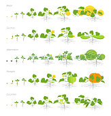Set of growth stages cucurbitaceae plants. Pumpkin melon and watermelon zucchini or courgette and cucumber plant. life cycle. Vector illustration flat stock clipart.