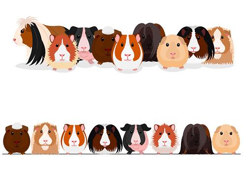 set of guinea pigs border