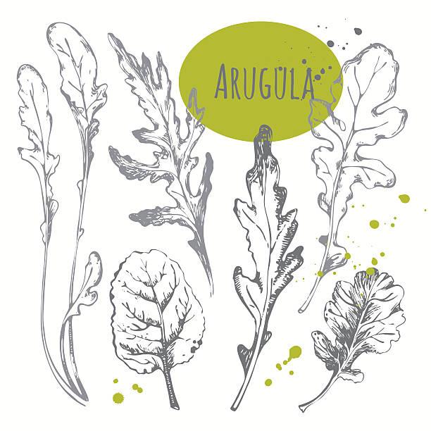 Set of hand drawn arugula. Black and white sketch herbs. Fresh organic food. Vector illustration with sketch salad herbs. arugula stock illustrations