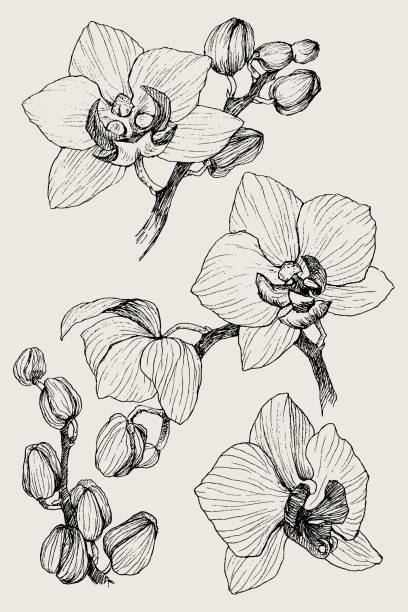 Set of hand drawn black outline orchid on a white background isolated. Highly detailed vector illustration. Beautiful exotic flower. Cymbidium Hand drawn realistic. Vintage orchid flowers pen and ink illustration isolated orchid stock illustrations