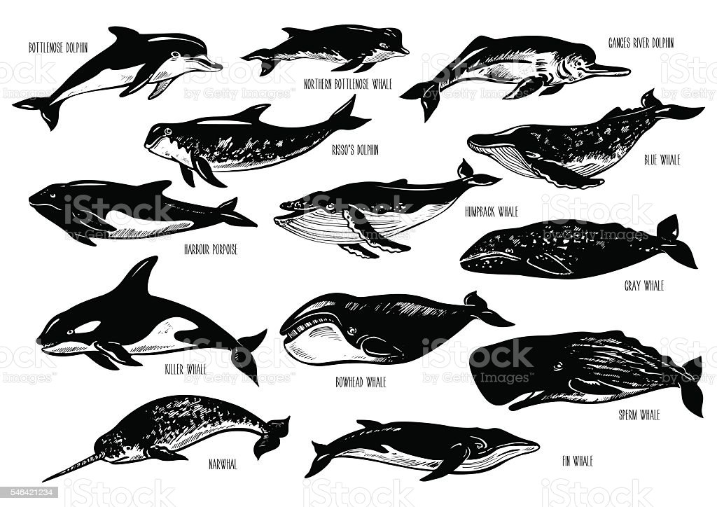 Set of hand drawn dolphins and whales. - ilustración de arte vectorial