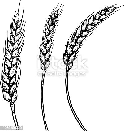 Set of hand drawn illustrations of wheat spikelets. Design element for poster, label, card, emblem, banner. Vector image