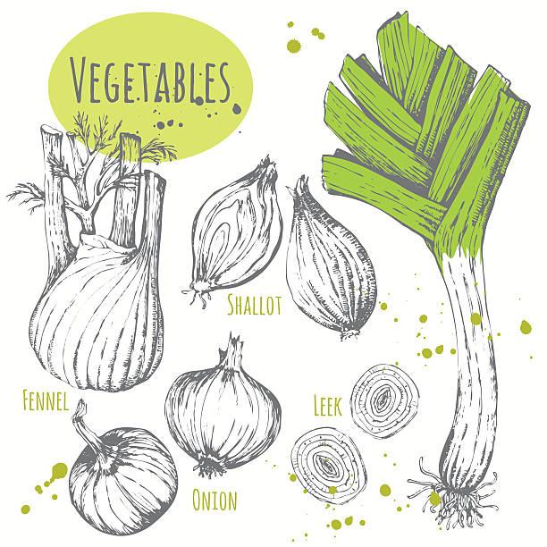 stockillustraties, clipart, cartoons en iconen met set of hand drawn onion, leek, fennel, shallots. - sjalot
