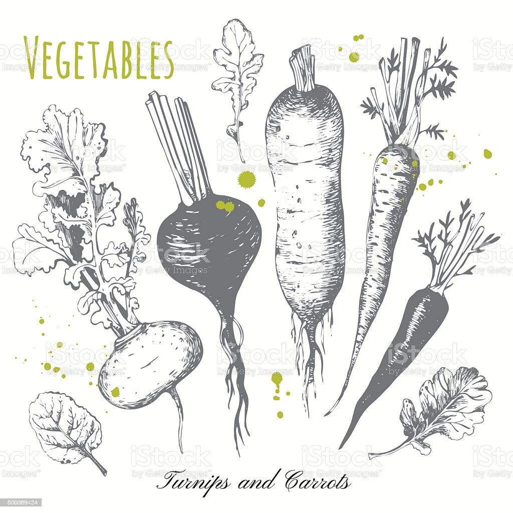 Set of hand drawn roots. Fresh organic food. vector art illustration
