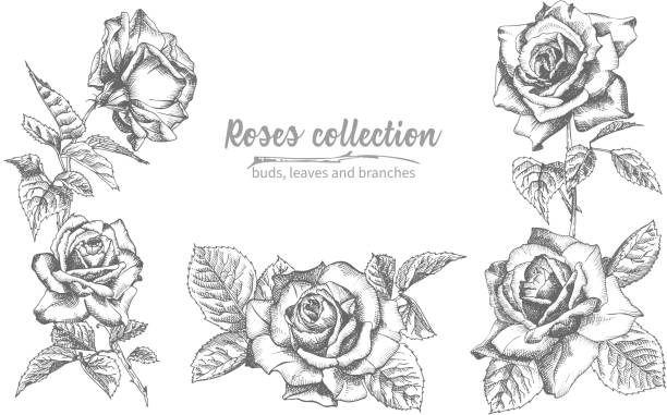 Set of Hand drawn sketch roses, lives and branches Detailed vintage botanical illuatration. Floral frame. Black silhouette isollated on white background. Set of Hand drawn sketch roses, lives and branches Detailed vintage botanical illuatration. Floral frame. Black silhouette isollated on white background. Vector Creative graphic art in engraving style flowers tattoos stock illustrations