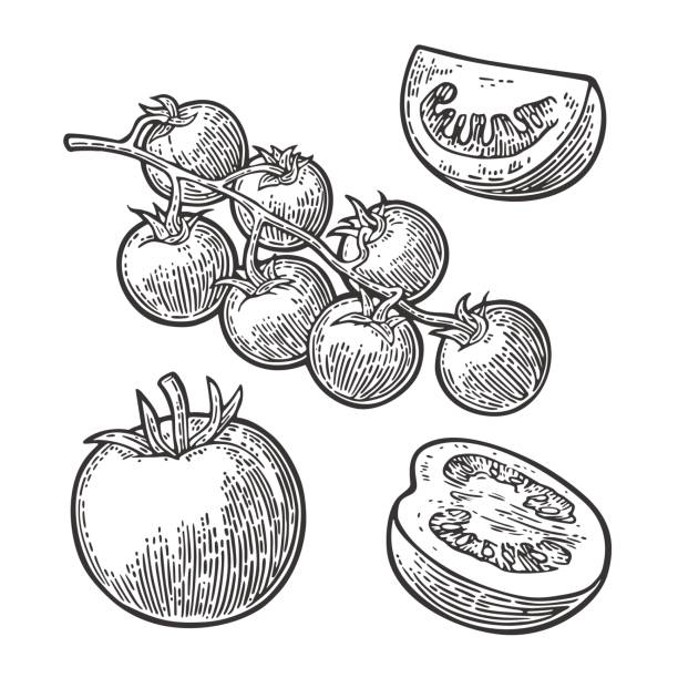 set of hand drawn tomatoes. branch, whole, half and slice. - cherry tomato stock illustrations