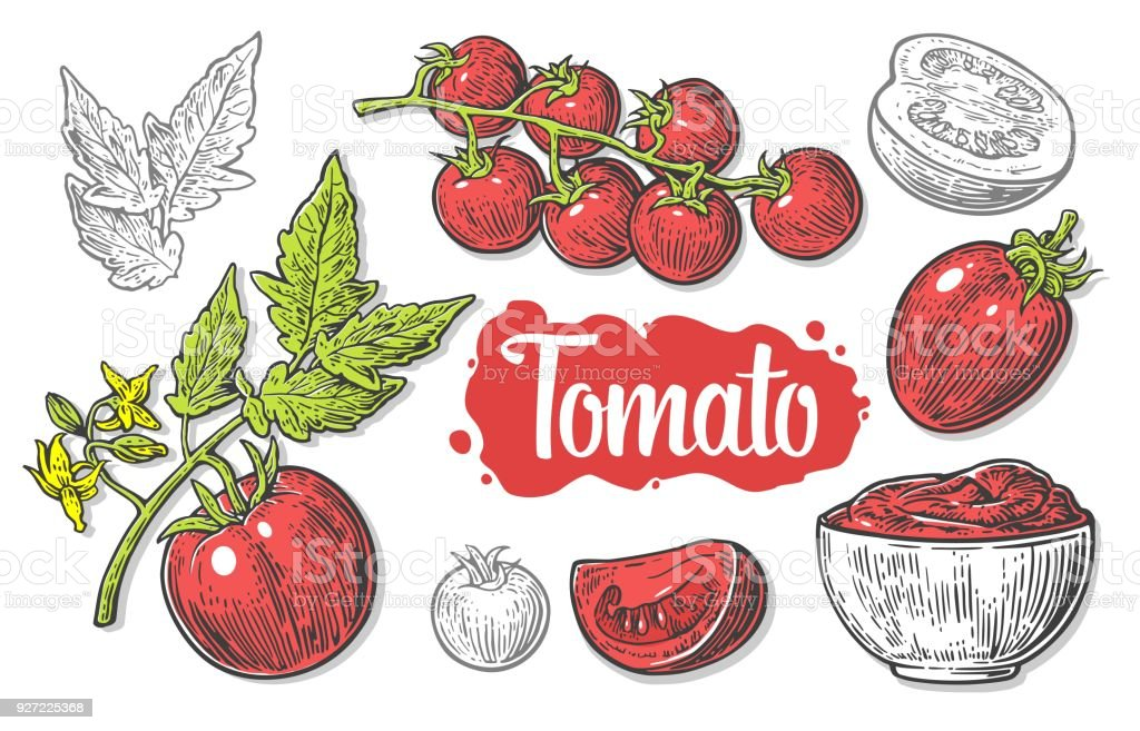 Set of hand drawn tomatoes isolated on white background. Tomato, half and slice isolated engraved vector illustration. vector art illustration