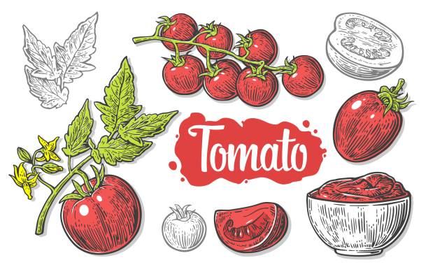 ilustrações de stock, clip art, desenhos animados e ícones de set of hand drawn tomatoes isolated on white background. tomato, half and slice isolated engraved vector illustration. - sauce tomatoes