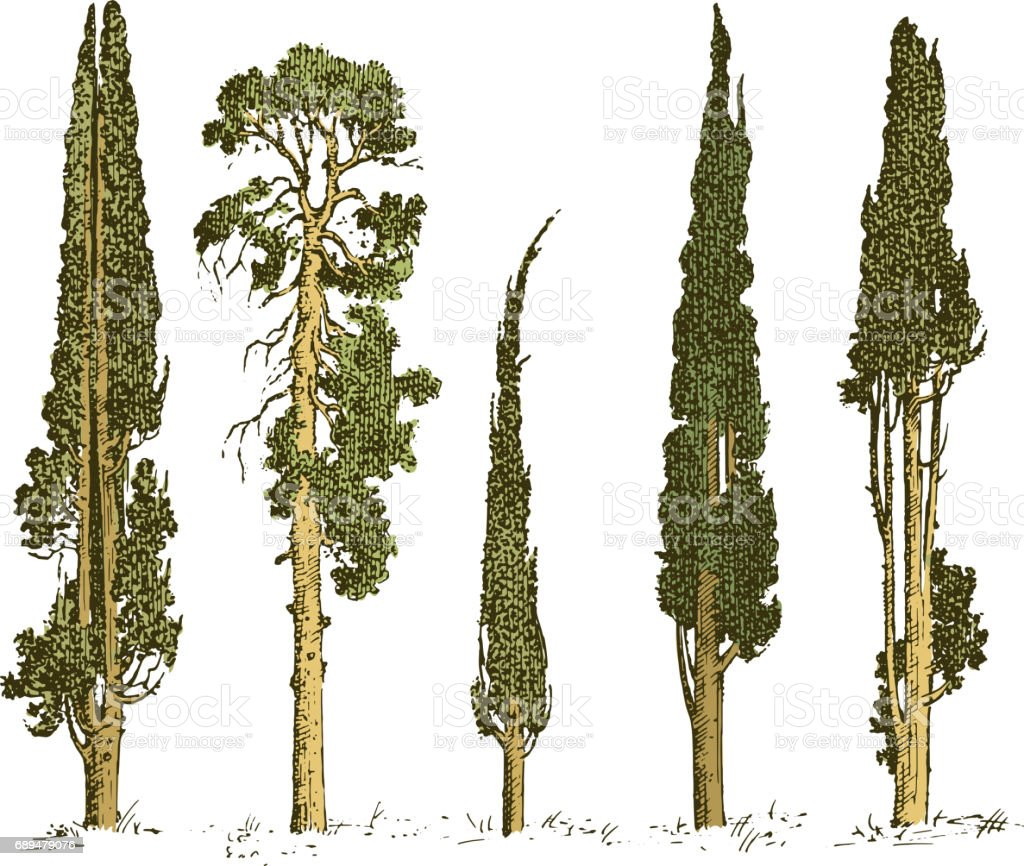Satz Von Handgezeichneten Bäume Italienische Zypresse Und Kiefer ...