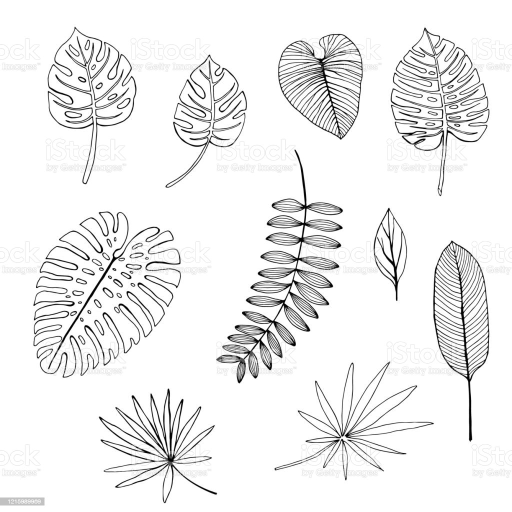 Set Of Hand Drawn Tropical Leaves Outline Drawing Stock Illustration Download Image Now Istock Learn how to draw tropical leaf pictures using these outlines or print just for coloring. set of hand drawn tropical leaves outline drawing stock illustration download image now istock