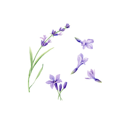 Set of hand drawn watercolor botanical illustration of fresh Lavender flowers. Element for design of invitations, web pages, wedding invitations, textile and other objects. Isolated on white.