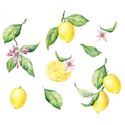 Set of hand drawn watercolor botanical illustration of fresh yellow Lemons. Vector