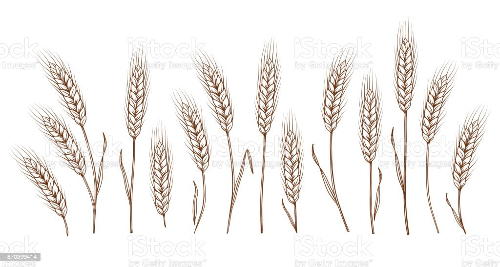 set of hand drawn wheat ears vector art illustration