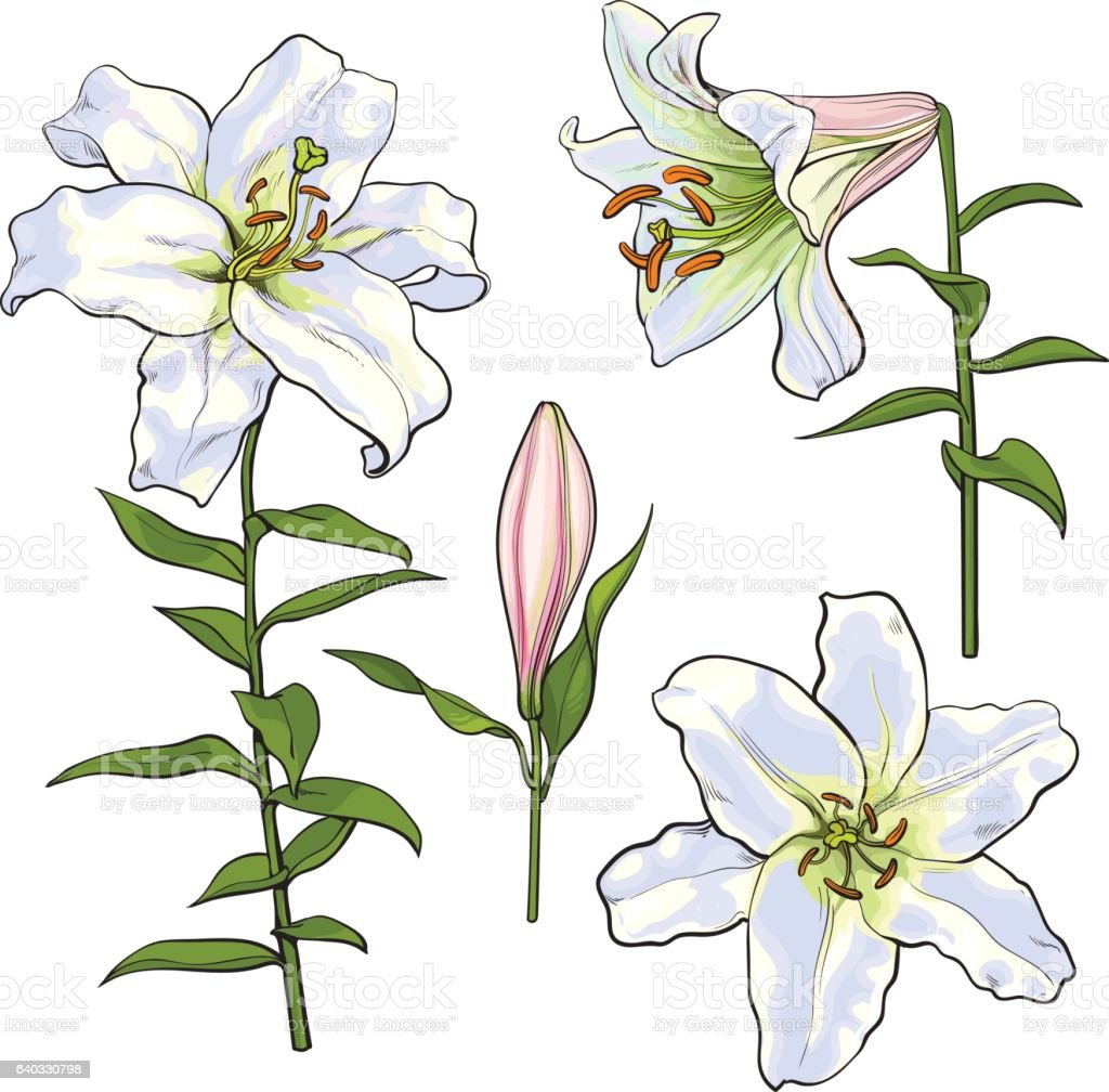 Set Of Hand Drawn White Lily Flowers Side Top View Stock Vector Art