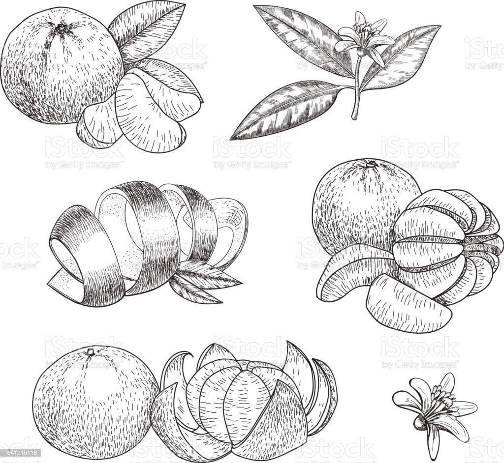 Set of hand made vector sketch mandarins  in vintage styl vector art illustration