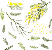 Hand drawn blooming mimosa or silver wattle flowers vector illustration.