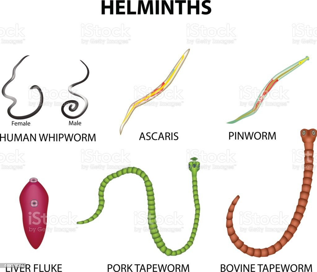 A Set Of Helminths Roundworm Ascaris Pinworms Bovine Tapeworm Pork ...
