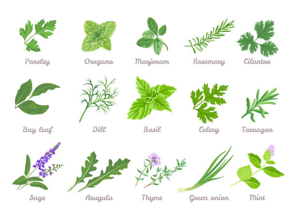 Set of herbs isolated. Green leaves of Parsley, Oregano, Marjoram, Cilantro, Celery, Bay leaf, Dill, Basil, Rosemary, Tarragon, Sage, Arugula, Green onion, Mint, Thyme. Vector cartoon illustration. Set of herbs isolated. Green leaves of Parsley, Oregano, Marjoram, Cilantro, Celery, Bay leaf, Dill, Basil, Rosemary, Tarragon, Sage, Arugula, Green onion, Mint, Thyme. Vector cartoon illustration. dill stock illustrations