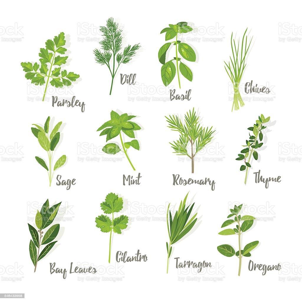 Set of herbs isolated vector art illustration