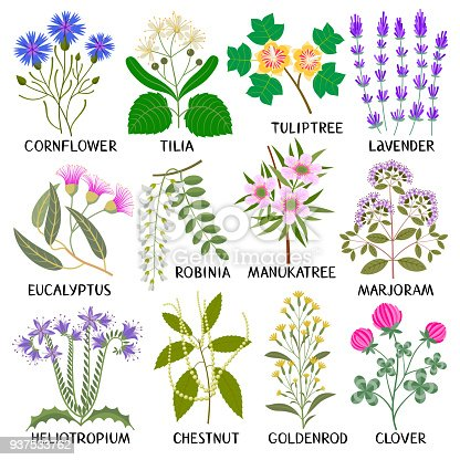 Plants for Honey Producing. Cornflower, Tilia, Tuliptree, Lavender, Eucalyptus, Robinia, Manuka tree, Marjoram, Heliotropium, Chestnut, Goldenrod, Clover.