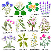 Plants for Honey Producing. Cornflower, Tilia, Tuliptree, Lavender, Eucalyptus, Robinia, Manuka tree, Marjoram, Heliotropium, Chestnut, Goldenrod, Clover.