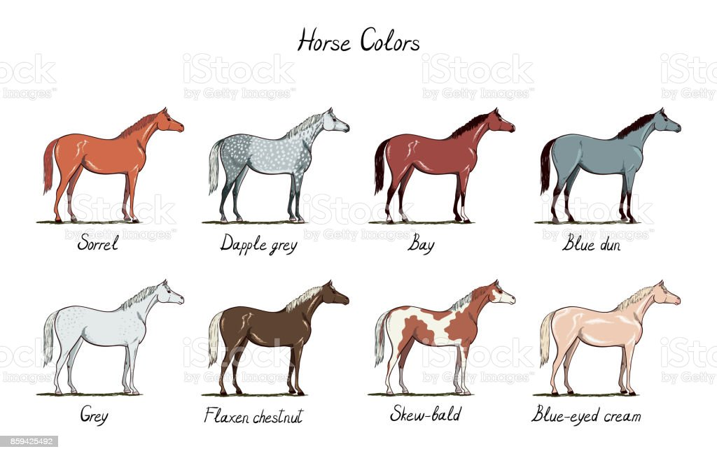 Set of horse color chart.  Equine coat colors with text. Equestrian scheme.